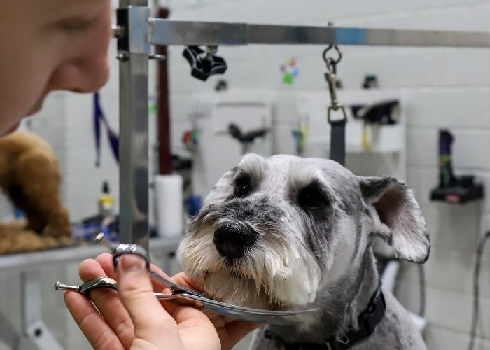 Schnauzer Grooming Melbourne, melbourne dog grooming